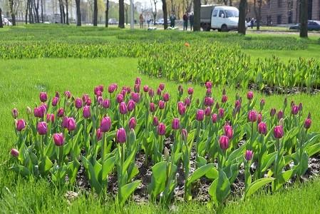 На проспекте Независимости появилась аллея тюльпанов