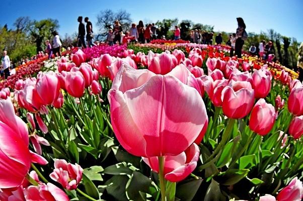 В Фельдман Экопарк стартовал Парад тюльпанов